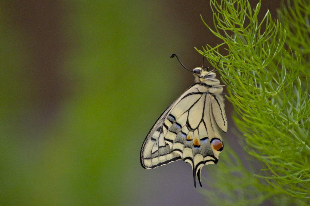 allevamento farfalle